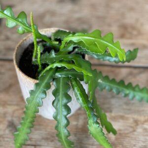 Epiphyllum Anguliger (zaagcactus)
