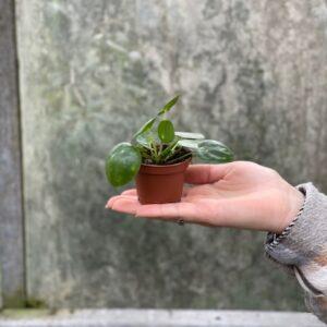 Pilea Miniature (pannenkoekplant)