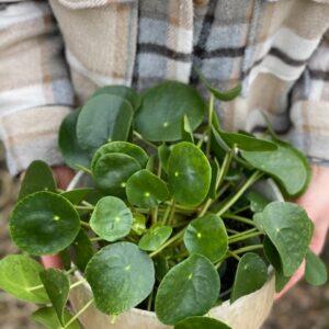 Pilea (pannekoekplant) XL