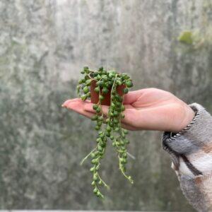 Senecio Rowleyanus (erwtenplantje) mini